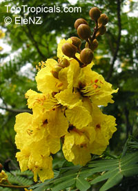 Peltophorum pterocarpum - Yellow Poinciana - seeds  Click to see full-size image