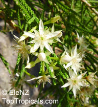Unknown 131, Star Flowers  Click to see full-size image