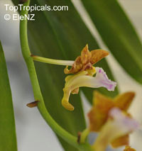 Vanda flabellata, Aerides flabellata, The Fan-Shaped Aerides