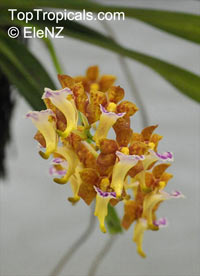 Vanda flabellata, Aerides flabellata, The Fan-Shaped AeridesClick to see full-size image