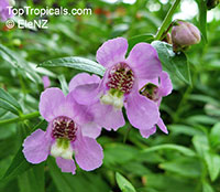 Angelonia angustiflolia, Angelonia goyazensis, Angel Mist, Summer Snapdragon, Angel FlowerClick to see full-size image