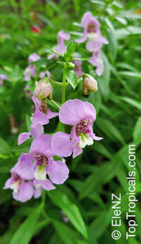 Angelonia angustiflolia, Angelonia goyazensis, Angel Mist, Summer Snapdragon, Angel Flower  Click to see full-size image
