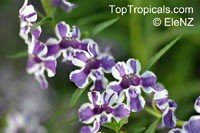 Angelonia salicariaefolia, Violet-flowered Angelonia  Click to see full-size image