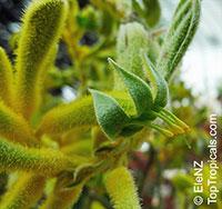Anigozanthos sp., Kangaroo Paw  Click to see full-size image