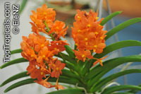Ascocentrum sp., Ascocentrum