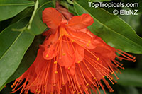 Brownea sp., Scarlet Flame Bean  Click to see full-size image