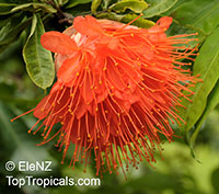 Brownea sp., Scarlet Flame BeanClick to see full-size image