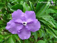 Brunfelsia pauciflora, Brunfelsia calycina, Brunfelsia eximia, Brazil Raintree, Yesterday-Today-Tomorrow  Click to see full-size image
