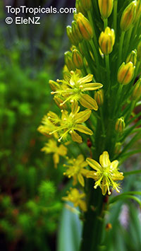 Bulbine natalensis, Bulbine latifolia, Bulbine  Click to see full-size image