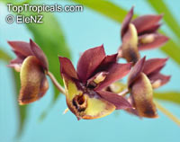 Catasetum sp., Catasetum  Click to see full-size image