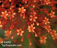 Clerodendrum paniculatum, Pagoda Flower, Orange Tower Flower, Clerodendron  Click to see full-size image