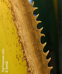 Corypha sp., Dhaka Plant (C. taliera), Gebang PalmClick to see full-size image