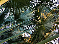 Corypha umbraculifera, Talipot Palm, Buri  Click to see full-size image