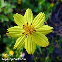 Cosmos sulphureus, Sulfur Cosmos, Yellow Cosmos  Click to see full-size image