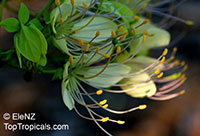 Crateva sp., Spider Flower Tree  Click to see full-size image
