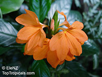 Crossandra infundibuliformis, Crossandra undulifolia Orange, Tropic Flame  Click to see full-size image