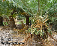 Cycas sp., Cycas, Cycad  Click to see full-size image