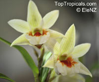 Dendrobium formosum, Giant-flowered Dendrobium  Click to see full-size image