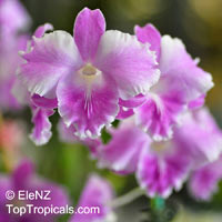 Dendrobium Humming Butterfly, Butterfly Dendrobium  Click to see full-size image