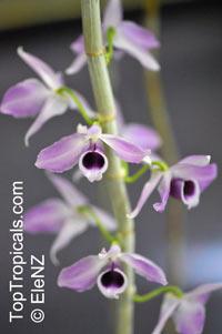 Dendrobium anosmum, Dendrobium superbum, Fragrant Dendrobium  Click to see full-size image
