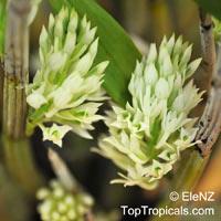 Dendrobium constrictum, Pedilonum mimiense, Constricted Dendrobium  Click to see full-size image