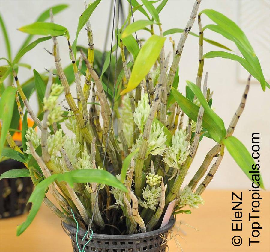 Dendrobium Constrictum Pedilonum Mimiense Constricted