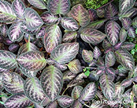 Episcia sp., Flame Violet  Click to see full-size image