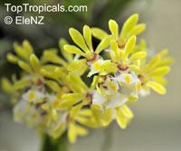 Gastrochilus obliquus, Vanda obliqua, Slanting Gastrochilus   Click to see full-size image