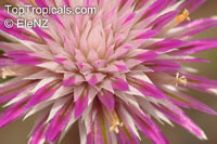 Gomphrena canescens, Pink Billy Buttons  Click to see full-size image