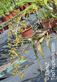 Grammatophyllum scriptum, Epidendrum scriptum, Grammatophyllum  Click to see full-size image