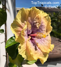 Hibiscus Robyn Jean, Hibiscus Robyn Jean  Click to see full-size image