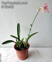 Hippeastrum reticulatum , Netted-Veined Amaryllis, Striped-Leaved Amaryllis  Click to see full-size image