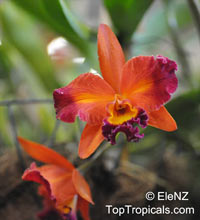 Cattleya sp., Cattleya Orchid  Click to see full-size image