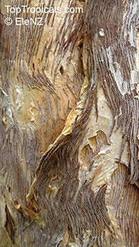 Melaleuca quinquenervia, Paperbark, Honey Myrtle, Punk Tree  Click to see full-size image
