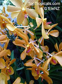 Vanda sp., Vanda Orchid  Click to see full-size image