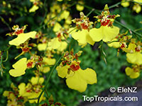 Oncidium sp., Oncidium Orchid  Click to see full-size image