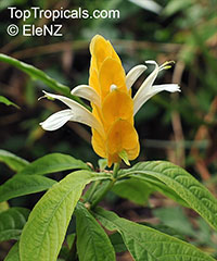 Pachystachys lutea, Yellow Shrimp Plant, Golden Shrimp Plant, Lollipop Plant, Candle Plant  Click to see full-size image