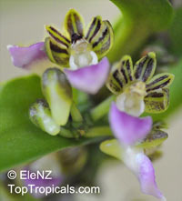 Pelatantheria insectifera, Insect-Bearing Pelatanthera   Click to see full-size image