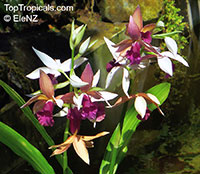 Phaius tankervilleae, Chinese Ground Orchid, Nun Orchid  Click to see full-size image