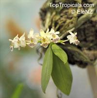 Phalaenopsis parishii, Aerides decumbens, Violet Phalaenopsis, Parish's Phalaenopsis  Click to see full-size image