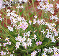 Schoenia cassiniana, Pink Everlasting  Click to see full-size image