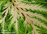Selaginella sp., Spikemoss  Click to see full-size image