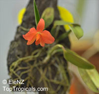Sophronitis coccinea, Sophronitis grandiflora, Cattleya coccinea, Sophronitis   Click to see full-size image