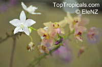 Spathoglottis sp., Ground OrchidClick to see full-size image