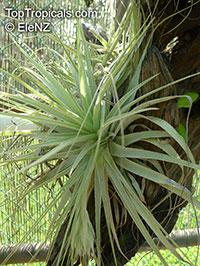 Tillandsia sp., TillandsiaClick to see full-size image