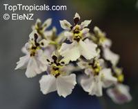Tolumnia sp., TolumniaClick to see full-size image