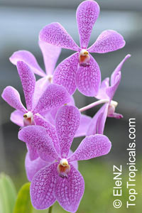 Vanda sp., Vanda Orchid  Click to see full-size image