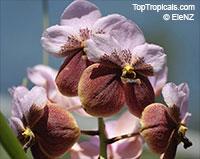 Vanda sp., Vanda OrchidClick to see full-size image
