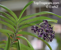 Rhynchostylis sp., Foxtail Orchid  Click to see full-size image