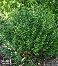 Thunbergia erecta, King's Mantle, Bush Clock Vine  Click to see full-size image